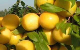 Алыча Сонейка Сорт — описание сорта, фото и отзывы садоводов