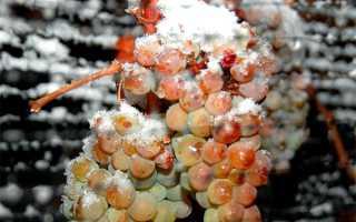 Виноград посадка и уход в подмосковье на зиму
