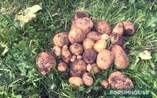 Как резать крупный семенной картофель для посадки
