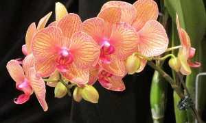 Как вырастить орхидею фаленопсис от орхидеи
