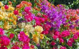 Бугенвиллия – фото, цветок сорта Сандериана, Александра, Double Lilarose, видео