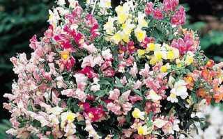 Как вырастить львиный зев ампельный из семян в домашних условиях