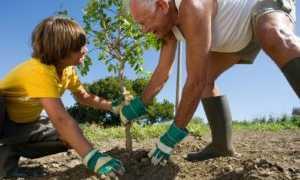 Как посадить саженец яблони (пошаговая инструкция с фото). Посадка яблони с закрытой корневой системой (в горшке/контейнере)