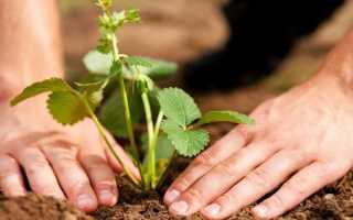 Как вырастить хороший урожай земляники