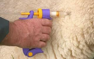 Болезни баранов, овец и ягнят: их симптомы, лечение, профилактика