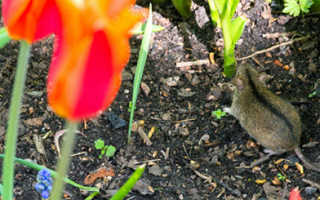 Грызуны на огороде и в саду: как избавиться, чем опасны, виды