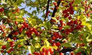 Дикая яблоня: описание, посадка и выращивание