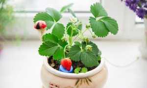 Выращивание клубники в домашних условиях: основы ухода