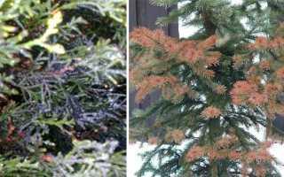Вредители хвойных деревьев и кустарников: методы борьбы с ними