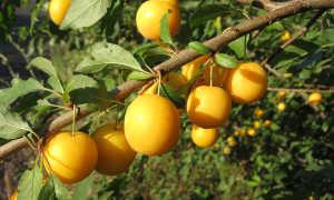 Выращивание сливы: описание, фото и советы