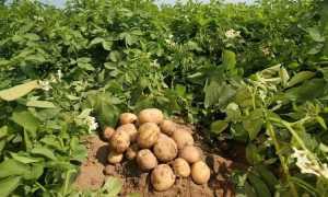 Ведро картошки с одного куста