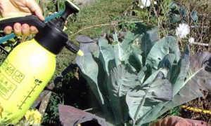 Выбираем эффективные гербициды для капусты