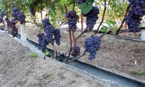Агротехника винограда – описание растения и особенности плодов, место и климат для выращивания, особенности посадки