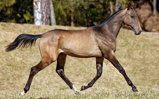 Ахалтекинская лошадь: описание породы, фото