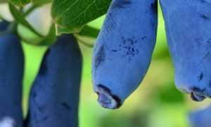 Жимолость Лакомка: описание и характеристика сорта, какие опылители подойдут, отзывы о вкусовых качествах