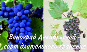 Виноград «Декабрьский»: характеристика и описание сорта, посадка и уход, достоинства и недостатки, фото