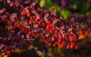 Барбарис обыкновенный (berberis vulgaris) описание посадка и уход фото