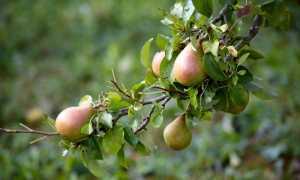 Как и чем подкормить грушу весной