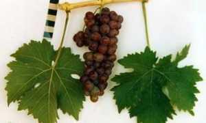 Виноград культурный 'Десертный' — описание сорта, характеристики