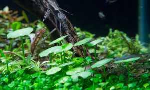 Гидрокотила мутовчатая (Hydrocotyle verticillata) — описание, выращивание, фото