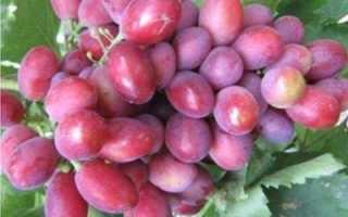 Виноград Дунав – насыщенный вкус из солнечной Болгарии