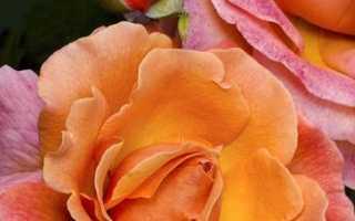 Как отличить розу от шиповника по побегам