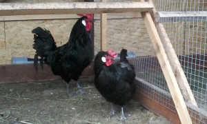 Барбезье порода кур: описание, фото, отзывы о разведении