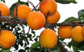 Как заставить абрикос плодоносить?