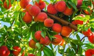 Как правильно посадить персик осенью во всех регионах России: пошаговое руководство