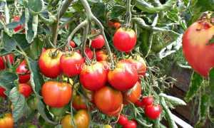 Как вырастить помидоры в ленобласти