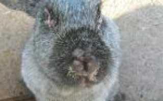Болезни кроликов: миксоматоз, болезни глаз – симптомы, лечение
