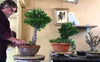 Бонсай из Крассулы (Толстянки): как своими руками из денежного дерева сделать правильно сформированную крону, выращивание в домашних условиях пошагово