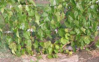 Все необходимые процедуры и полноценный уход за виноградом летом