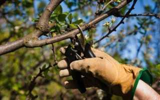 Как правильно обрезать черешню: секреты садоводов