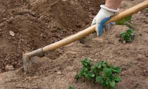 Выращивание картофеля без окучивания и прополки