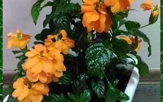 Выращивание кроссандры: особенности ухода в домашних условиях
