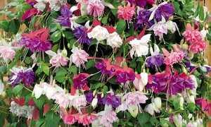 Выращивание фуксии в саду летом, хороший уход за растением