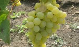 Виноград ванюша описание сорта фото отзывы