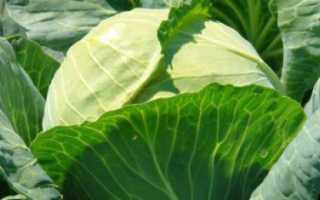 Голландские семена капусты