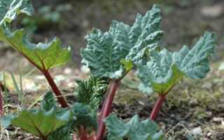 Как вырастить ревень семенами