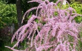 Бисерник: особенности выращивания