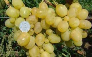 Виноград Первозванный: описание сорта и фото, особенности выращивания, болезни и вредители