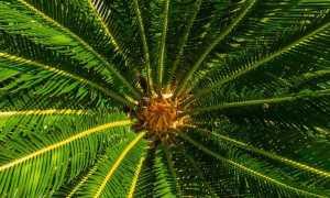 Виды комнатных пальм, уход и пересадка в домашних условиях