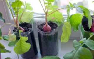 Выращивание редиса на балконе: можно ли посадить дома, как это сделать пошагово, какие нужны условия для ухода