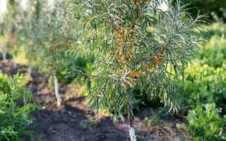 Как размножить облепиху: черенками, корневыми отпрысками, семенами и отводками
