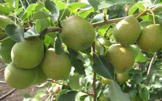 """Груша """"Декабринка"""": описание сорта и фото, характеристики, особенности выращивания"""