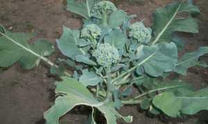 Выращивание и уход за брокколи в Подмосковье, как правильно это делать, а также лучшие сорта