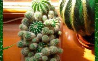 Всё, что нужно знать о вегетативном размножении кактусов