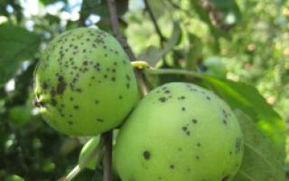 Грибные болезни (плодовые гнили, парша) при хранении урожая