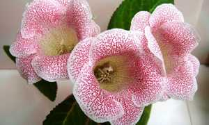 Глоксиния Розовая: описание видов, таких, как Феерия, Сказка, Мечта и их фото, а также особенности ухода за растением и возможные болезни и вредители